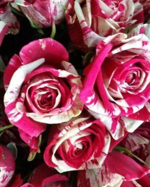 Roze Harlequin