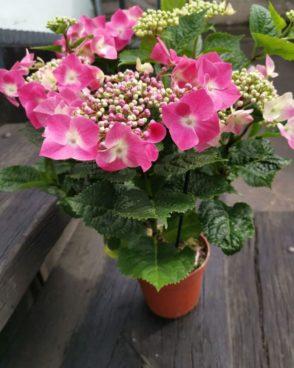 Hortenzija roza