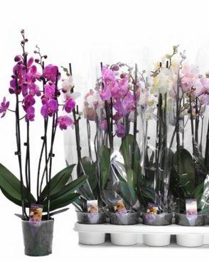 Orhideja Phalenopsis Mix