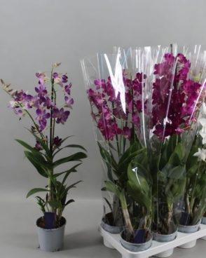 Orhideja Dendrobium