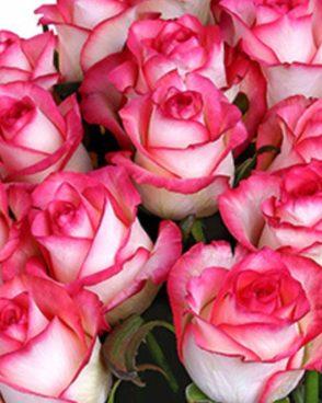 Roze Jumilia