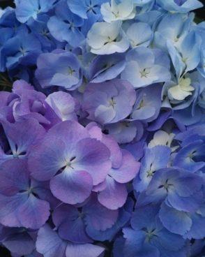 Hortenzija Blue