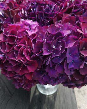 Hortenzija Violet