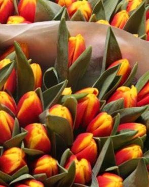 Tulpes orange