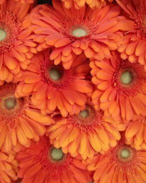 Gerberas Orange