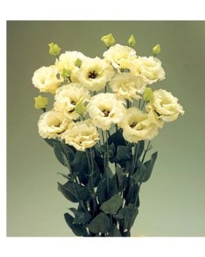 Eustoma Yellow