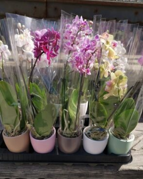 Phalenopsis Mix