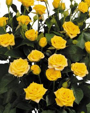 Roze Yellow Tross