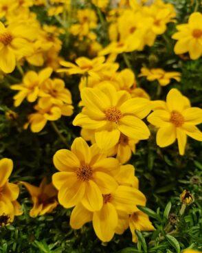 Bidens ferulifolia Bill's Medaillon