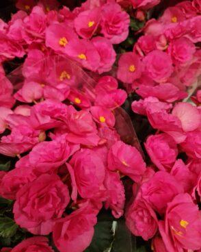 Begonija Adonia pink