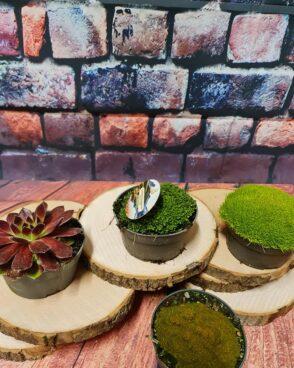 Sukulenti (Succulent plant-