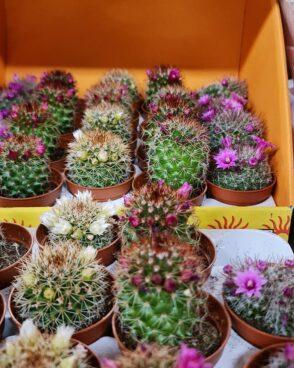ziedošie kaktusi